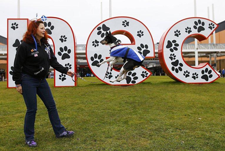 Собака породы Рэт-терьер на выставке Crufts Dog Show в Бирмингеме, Англия