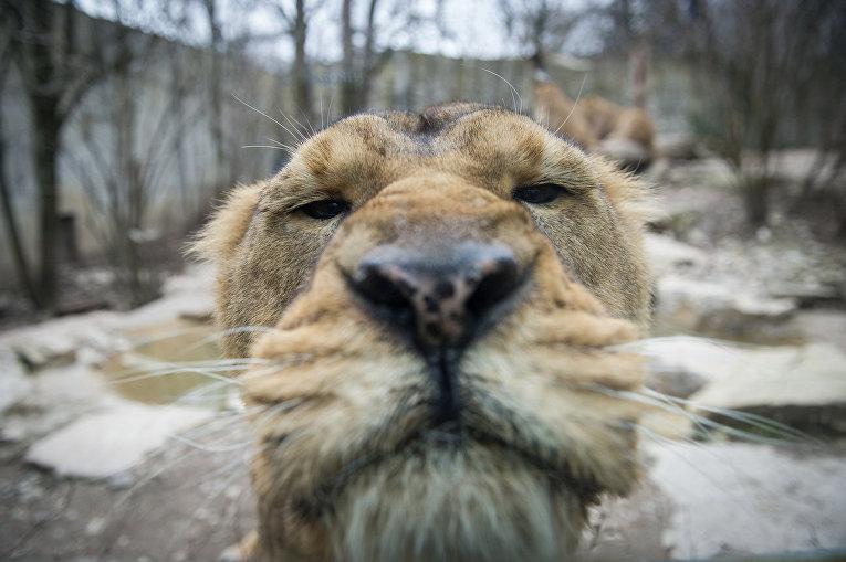 Азиатский лев в зоопарке Мюлуза, на востоке Франции