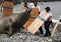 Морской слон, найденный больным на пляже в районе Мирафлорес, Лима. 11 марта 2016