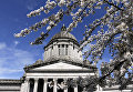 Цветущая сакура возле Капитолия в Вашингтоне