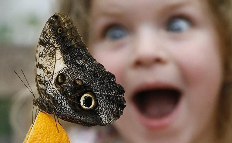 Бабочка Калиго на выставке бабочек в Музее естественной истории в Лондоне, Великобритания. 23 марта 2016