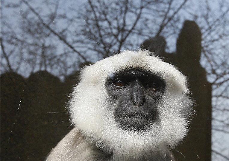 Обезьяна Лангур Хануман в лондонском зоопарке, Великобритания