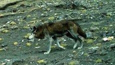 Гималайские волки в Непале
