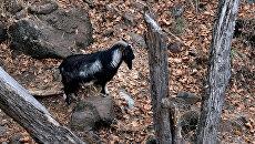 Козел по кличке Тимур в вольере Приморского сафари-парка. Архивное фото