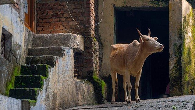 Корова в городе Ришикеш, Индия