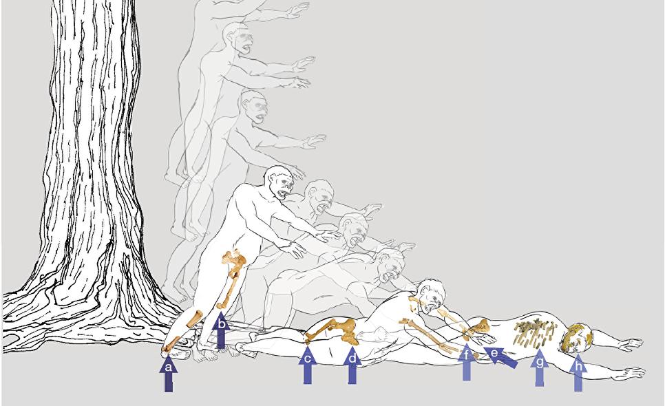 Ученые узнали, как погибла австралопитек Люси
