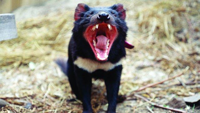 Тасманийские дьяволы могут спасти миллионы жизней вдальнейшем — Лекарство отрака