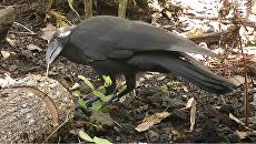 Гавайские вороны пользуются орудиями труда