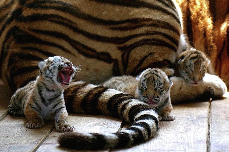 Амурские тигрята с мамой
