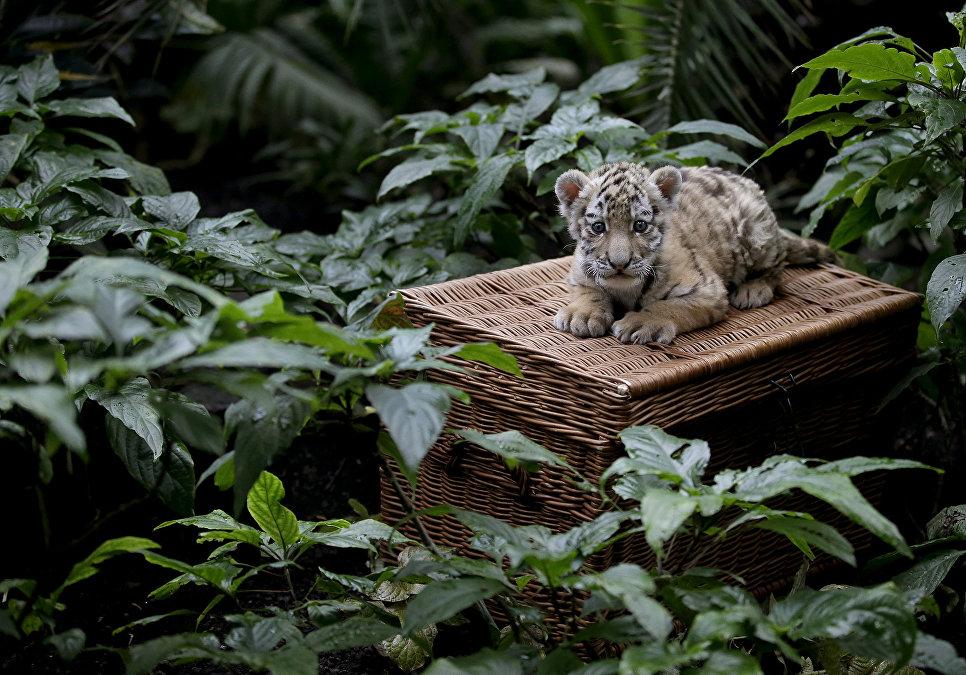 Маленькая амурская тигрица в зоопарке Берлина