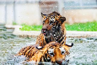 Амурские тигрята