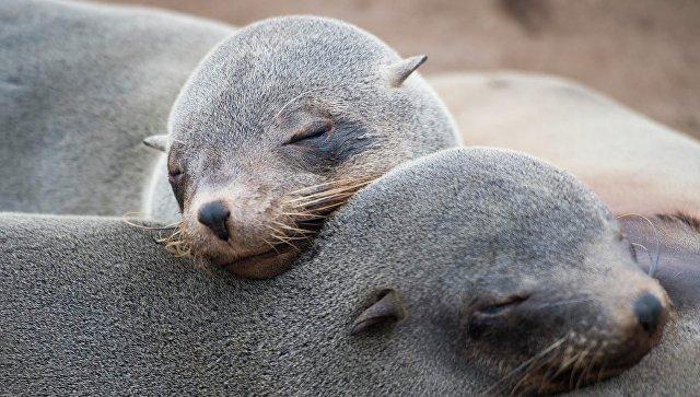 Браконьеры избили палками тюленей на неповторимом лежбище наСахалине