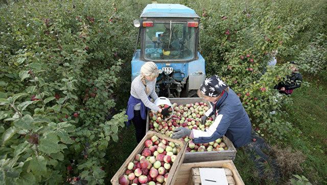 Сбор урожая яблок в Белоруссии. Архивное фото