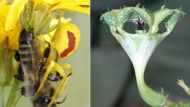 Ученые обнаружили цветок, пахнущий умирающей пчелой