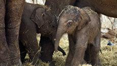 Детеныши азиатского слона. Архивное фото