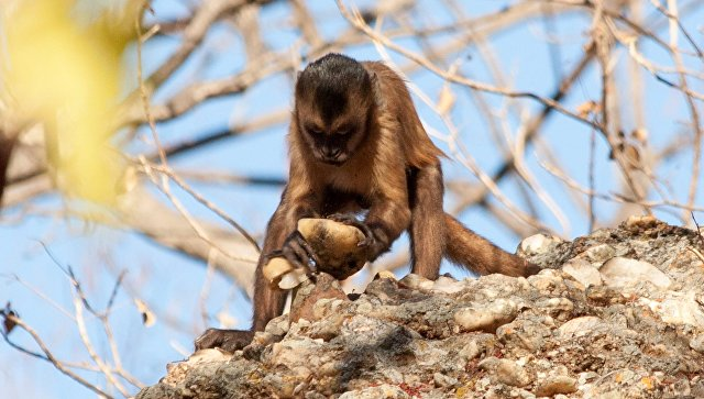 Мартышки научились изготовлять каменные орудия труда— Планета обезьян
