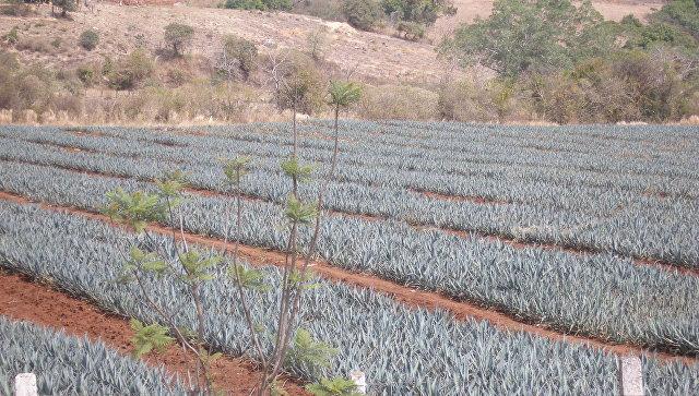 Плантации молодой агавы, Мексика. Архивное фото