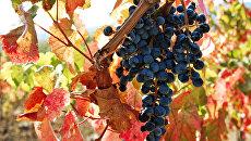 Виноград в окрестностях Алушты, Крым. Архивное фото