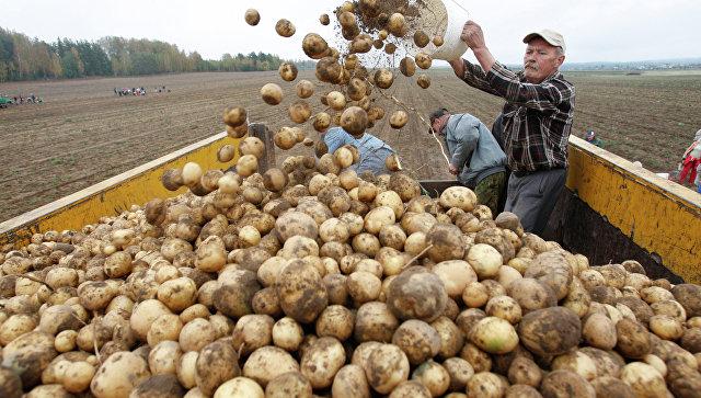 Уборка картофеля в Белоруссии, архивное фото.