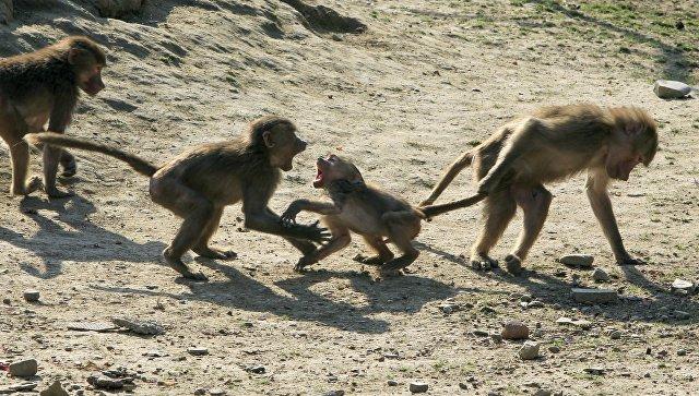 В Индии 12 обезьян одновременно умерли от страха