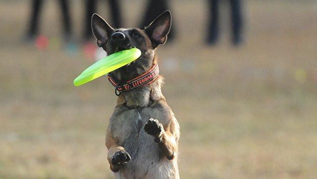 Собака породы бельгийский малинуа. Архивное фото