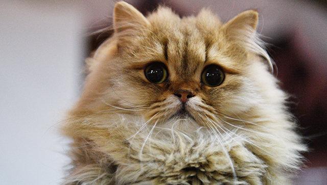 Кошка на выставке. Архивное фото