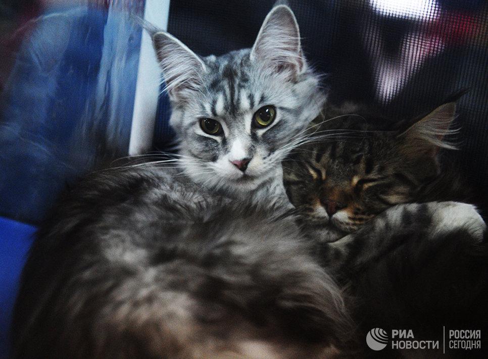 Кошки породы мейнкун на выставке Кэт-Салон-Декабрь в Москве