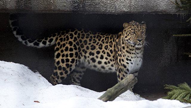 Леопард. Архивное фото