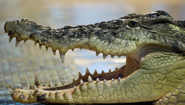 Взрослый нильский крокодил