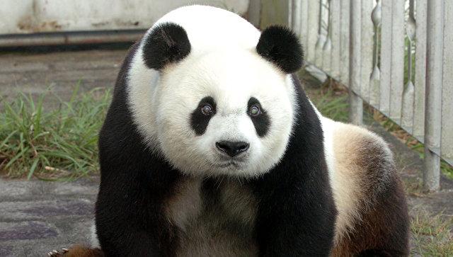 Старейший наЗемле самец панды скончался в КНР