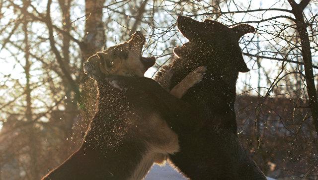 Стая бродячих собак напала надевушку вцентре Иркутска