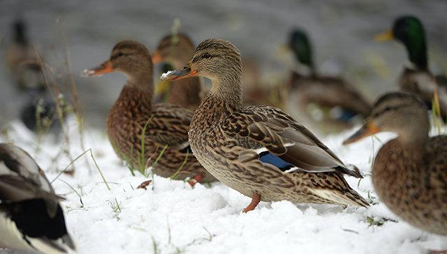 ВоФранции уничтожат неменее млн. уток из-за вспышки птичьего гриппа