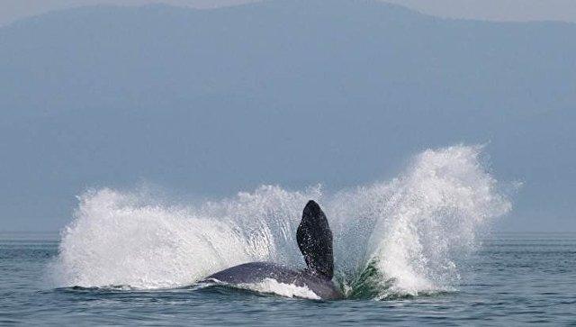 ВХабаровске пофакту наезда баркаса нагренландского кита идет проверка