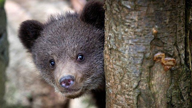 Кировские специалисты выхаживают медвежонка, найденного у дороги