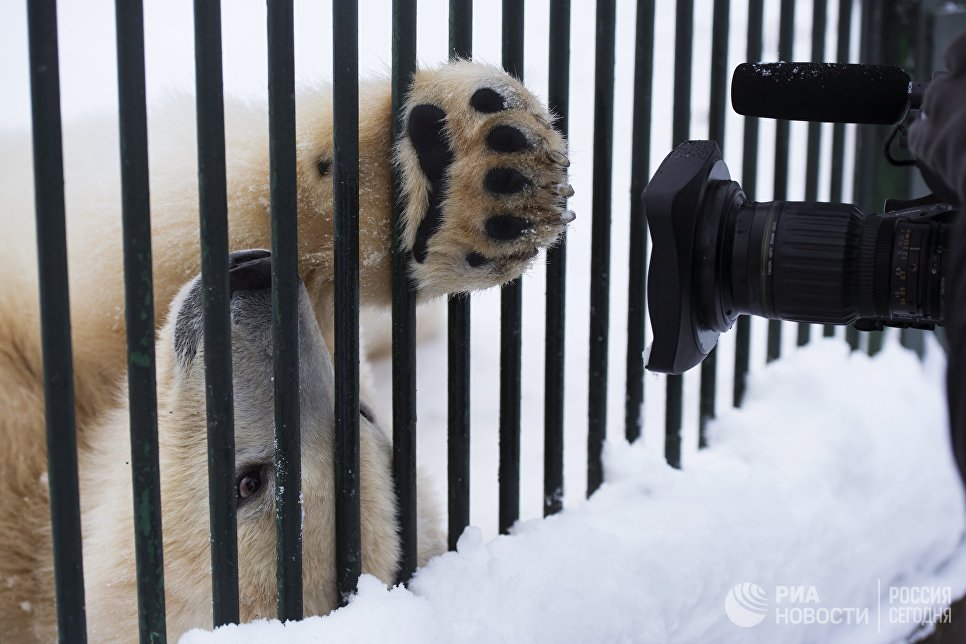 Годовалый белый медвежонок в Центре воспроизводства редких видов животных Московского зоопарка в селе Сычево Московской области