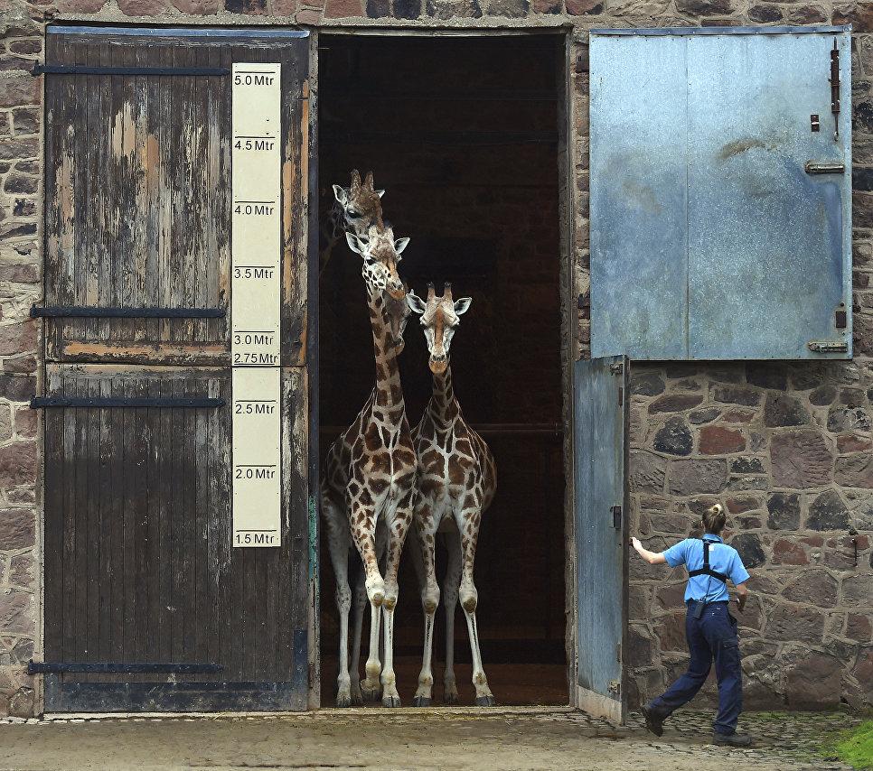 Жирафы в первый раз выходят из Дома Жирафа в зоопарке Честера, Великобритания