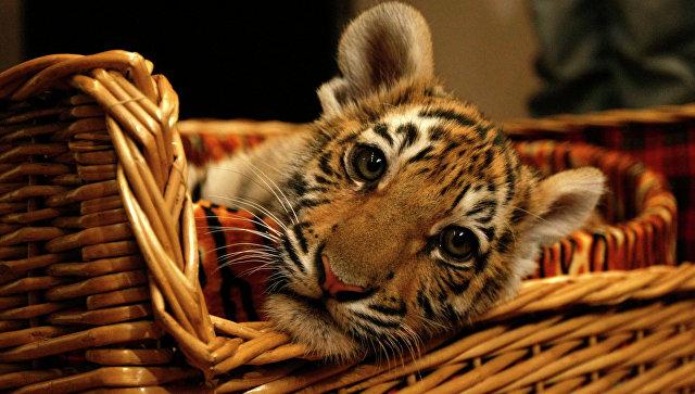 В Приморье прооперируют раненого тигренка