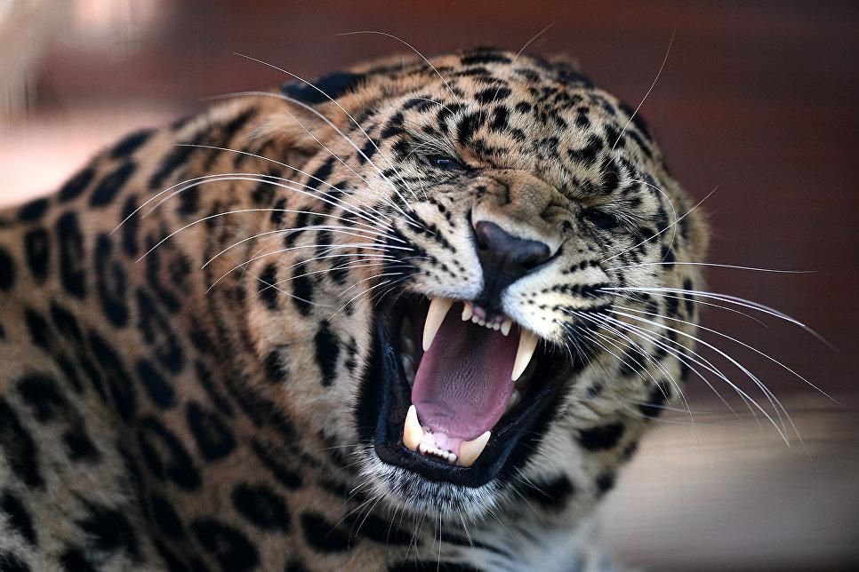 Леопардесса Стивена Сигала принесла потомство внацпарке вПриморье