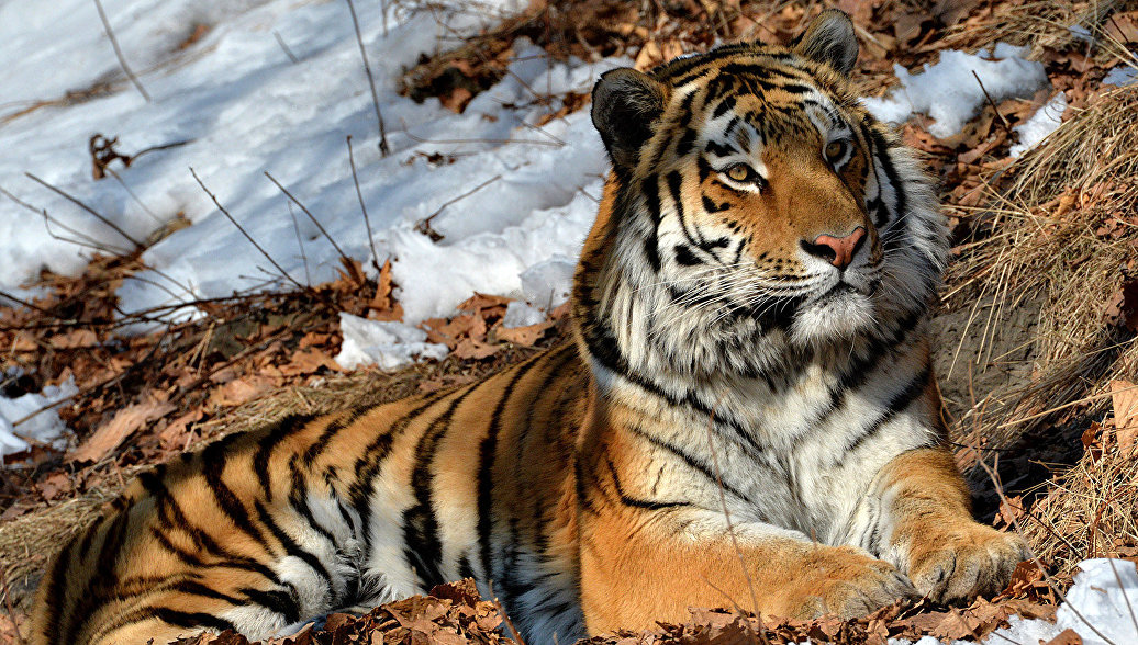 картинки тигров и тигров