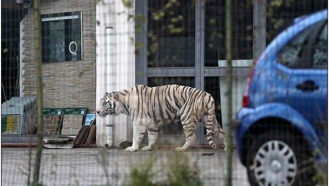 ВИталии бенгальский тигр убежал изцирка