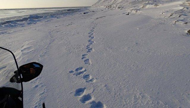 Следы белого медведя в направлении к мысу Лысая Голова