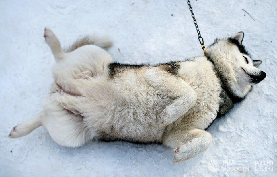 Собака породы хаски на территории парка Сокольники участвует в реабилитационной и образовательной программе По пути с хаски