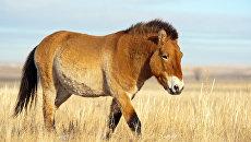 Лошадь Пржевальского - предполагаеымй предок скакунов скифов