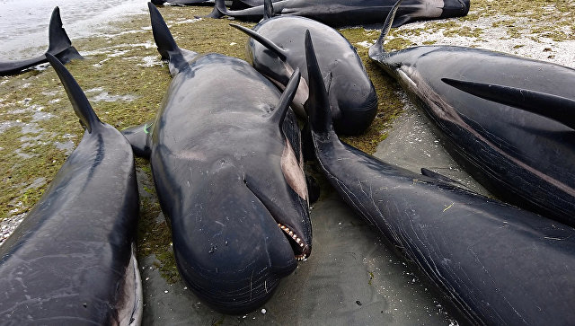 В новейшей Зеландии еще около 200 темных дельфинов выбросились наберег