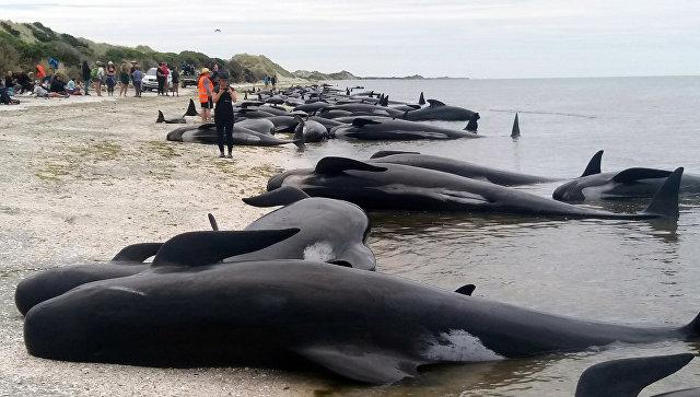 Около 200 дельфинов выбросились наберег в новейшей Зеландии