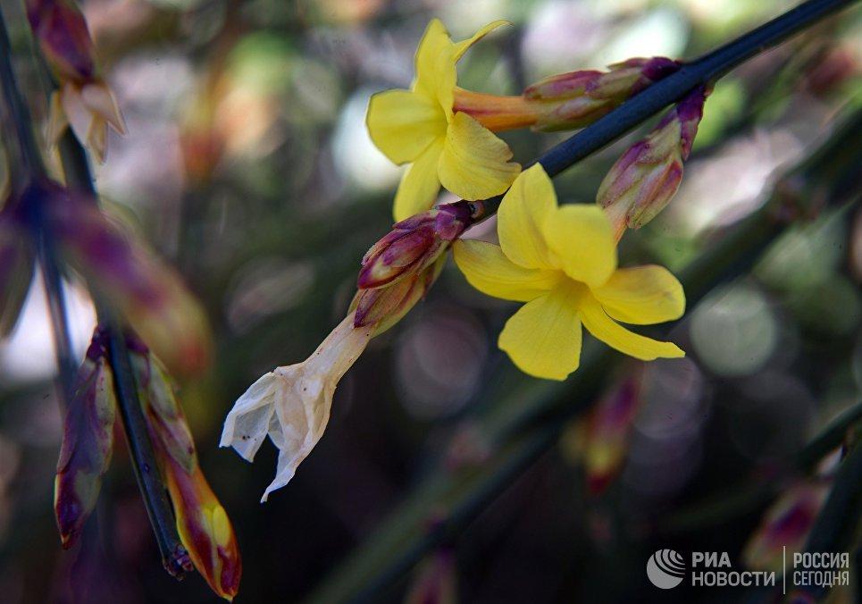 Соцветия цветущего кустарника в Никитском ботаническом саду в Крыму