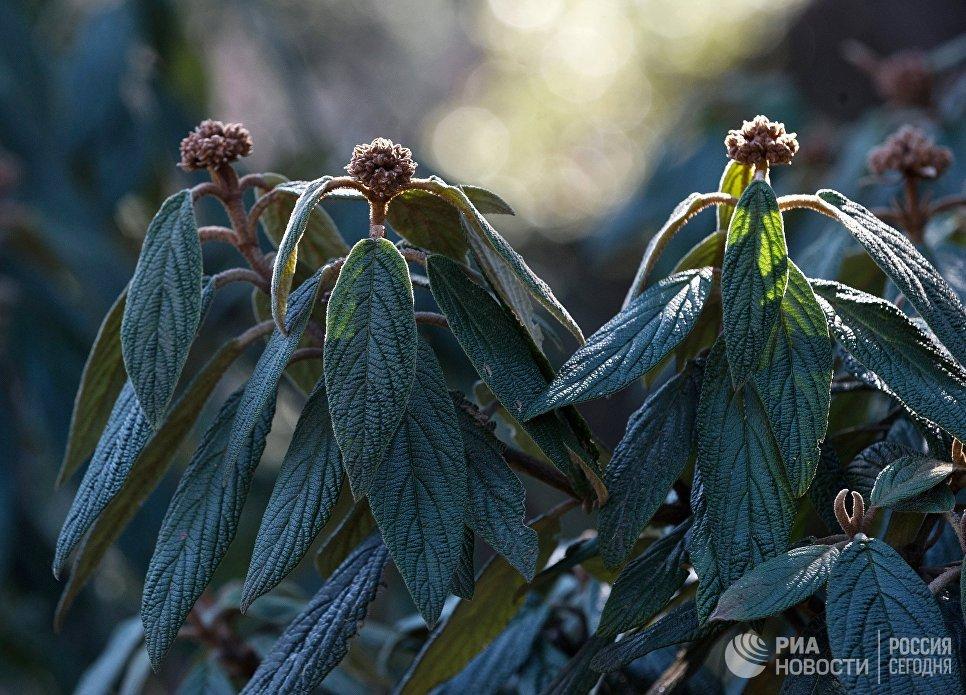 Ветви цветущего дерева в Никитском ботаническом саду в Крыму