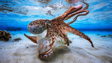 Работа фотографа из Франции Gabriel Barathieu Dancing Octopus для конкурса 2017 Underwater Photographer of the Year, занявшее 1 место