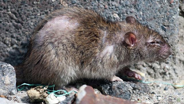 Жилые районы Нью-Йорка заполонили крысы