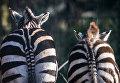 Две зебры в загоне в городе Дортмунд, Германия